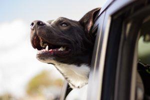 Un tour d'auto avec notre animal de compagnie !